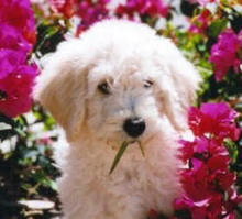 goldendoodle-puppy.jpg